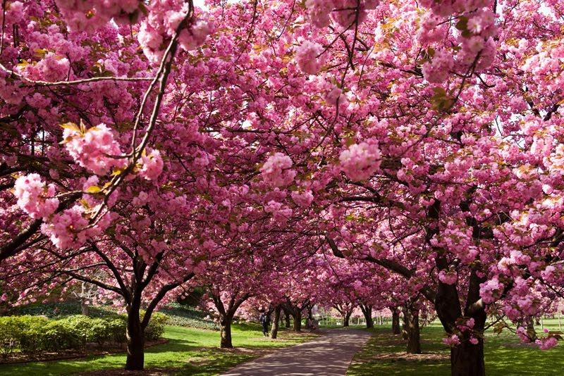 Lupus in flight hanami sakura for Arbol ciruelo de jardin