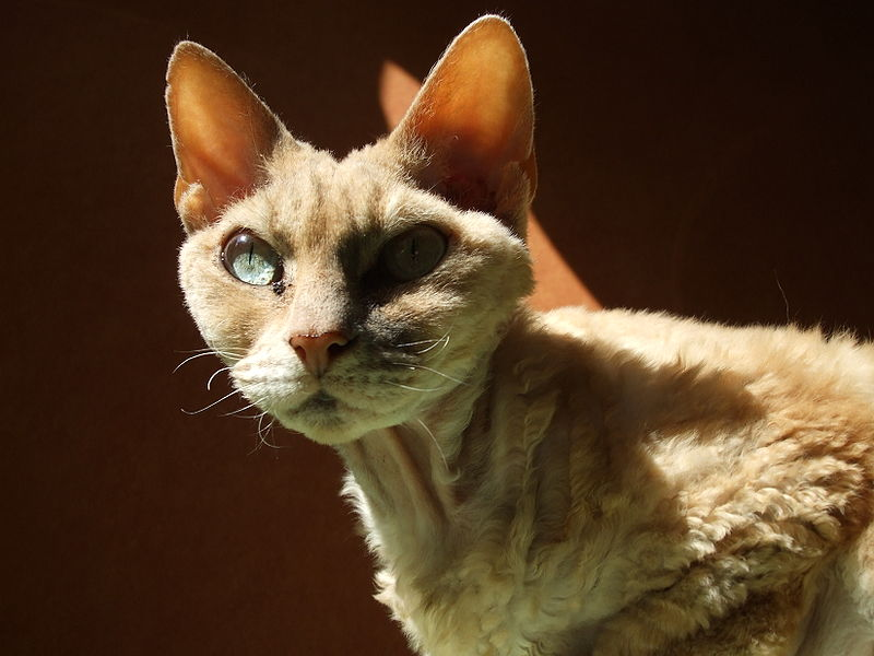 that of the Cornish Rex.