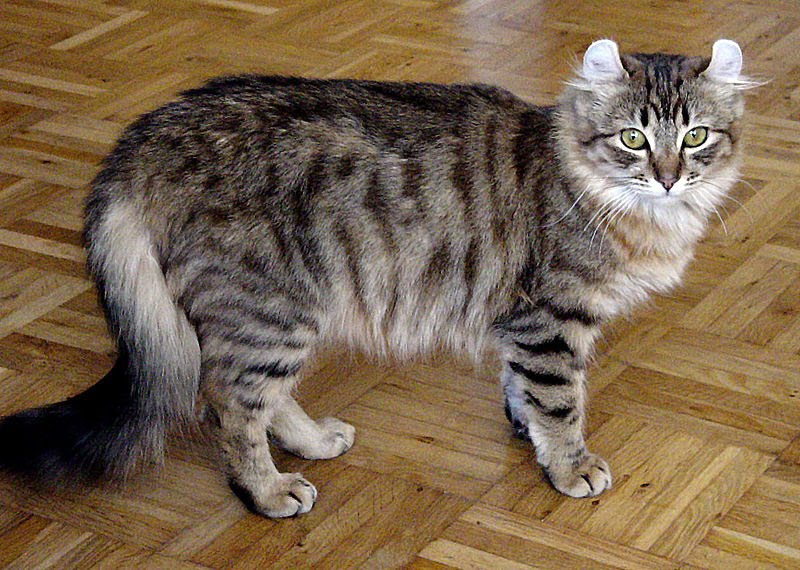 American Curl Russia Cats and Kitten...