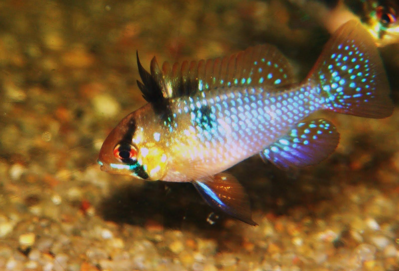 German ram fish for German ram fish