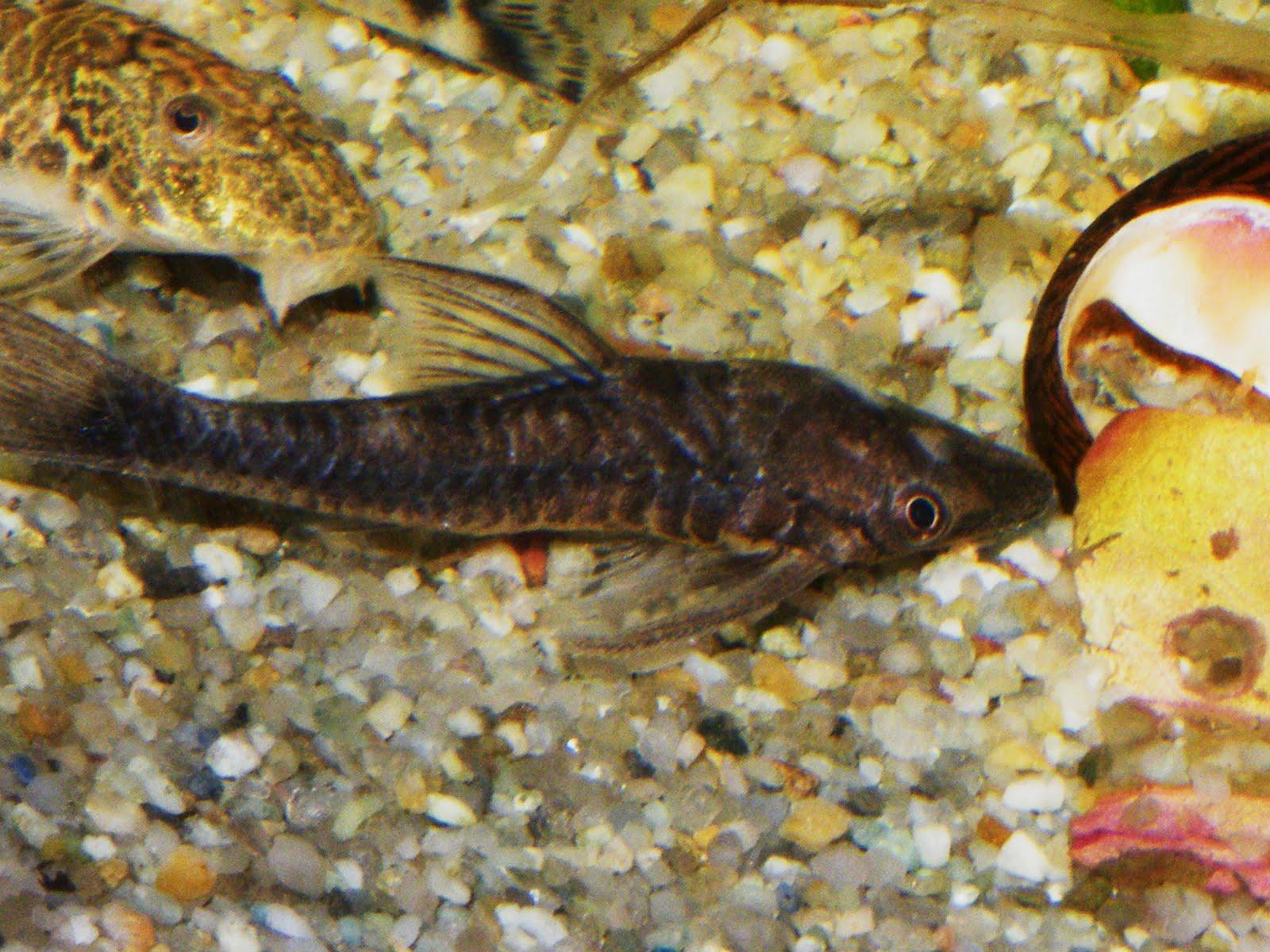 Oceanaq vampire oto otocinclus vampiro new rare for Vampire fish for sale