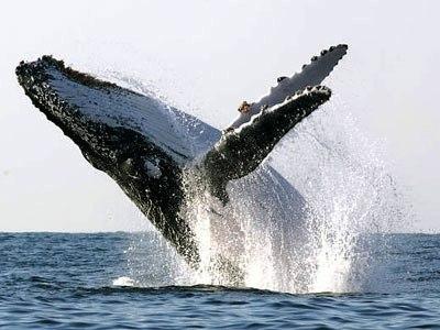 Ballenas Yubartas