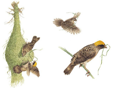 Weaver Bird Nest Drawing