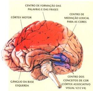 Cérebro humano.