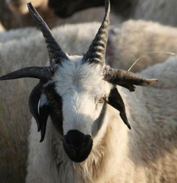 A goat with six horn