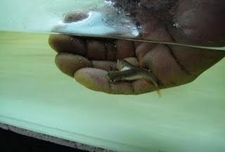 Strange Tow Headed Fish