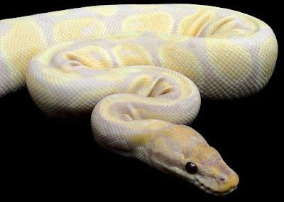Tiger Python