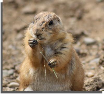 Prairie Dog nom