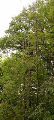 Mountain Ash damaged by sapsuckers