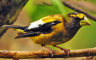 Evening Grosbeak, mle