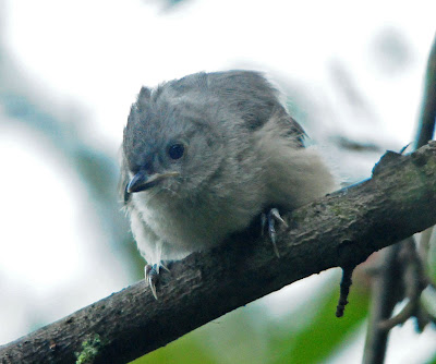 Tufted Titmouse fledgling