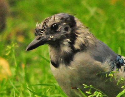 blue jay molting close-up