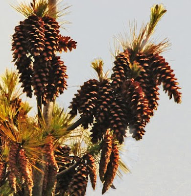 pine cones