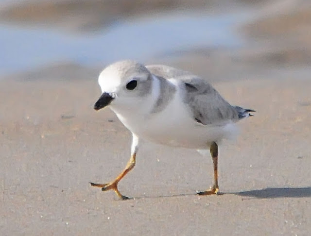 Juvenile Piping Plover