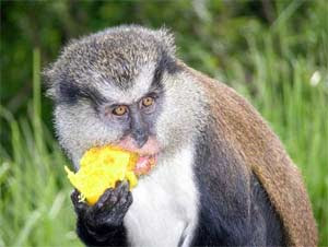 world monkey photos mona monkey red eating found in western africa