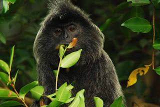 world monkey photos silver monkey found in africa rwanda burundi congo tanzania