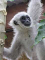 world monkey photos silvery gibbon located on island of java in indonesia endangered species