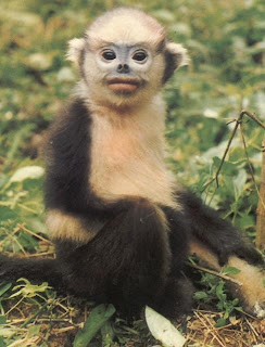 world monkey photos tonkin snub nosed langur very endangered found in north western vietnam
