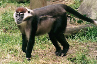 world monkey photos white collared mangabey also known sooty mangabey white crowned found in africa senegal and ghana