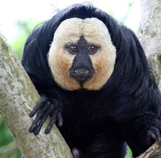 world monkey photos white face saki monkey found in south america in brazil french guiana guyana suriname and venezeula