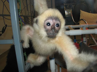 monkey photos yellow cheeked gibbon vietnam laos and cambodia monkies