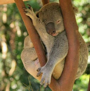 funny crazy animals photo of koala bear asleep in tree australian