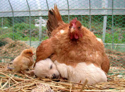 gorgeous cute funny photo of mother hen nesting on puppy dog as a chick