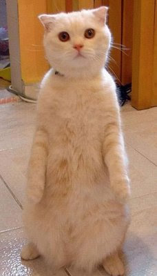 funny white cat photos sitting on hind legs posing for photo