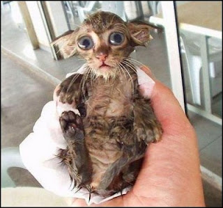 really funny picture of wet tiny little pussy cat after wash