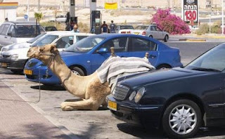 funny animal picture car park for camels parking photo