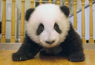 really cute panda bear photo inside
