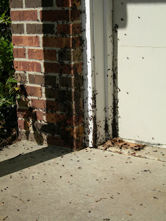 Box Elder Bugs swarming on garage door