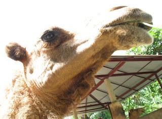 Camel in the sun Phuket Zoo