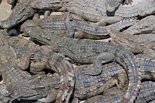 Crocodile farm in Phuket Town