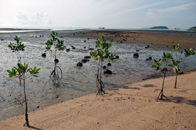 Mangrove saplings. View from Sapan Hin, Phuket, 10th July