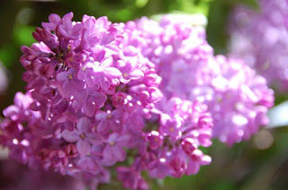 lilacs