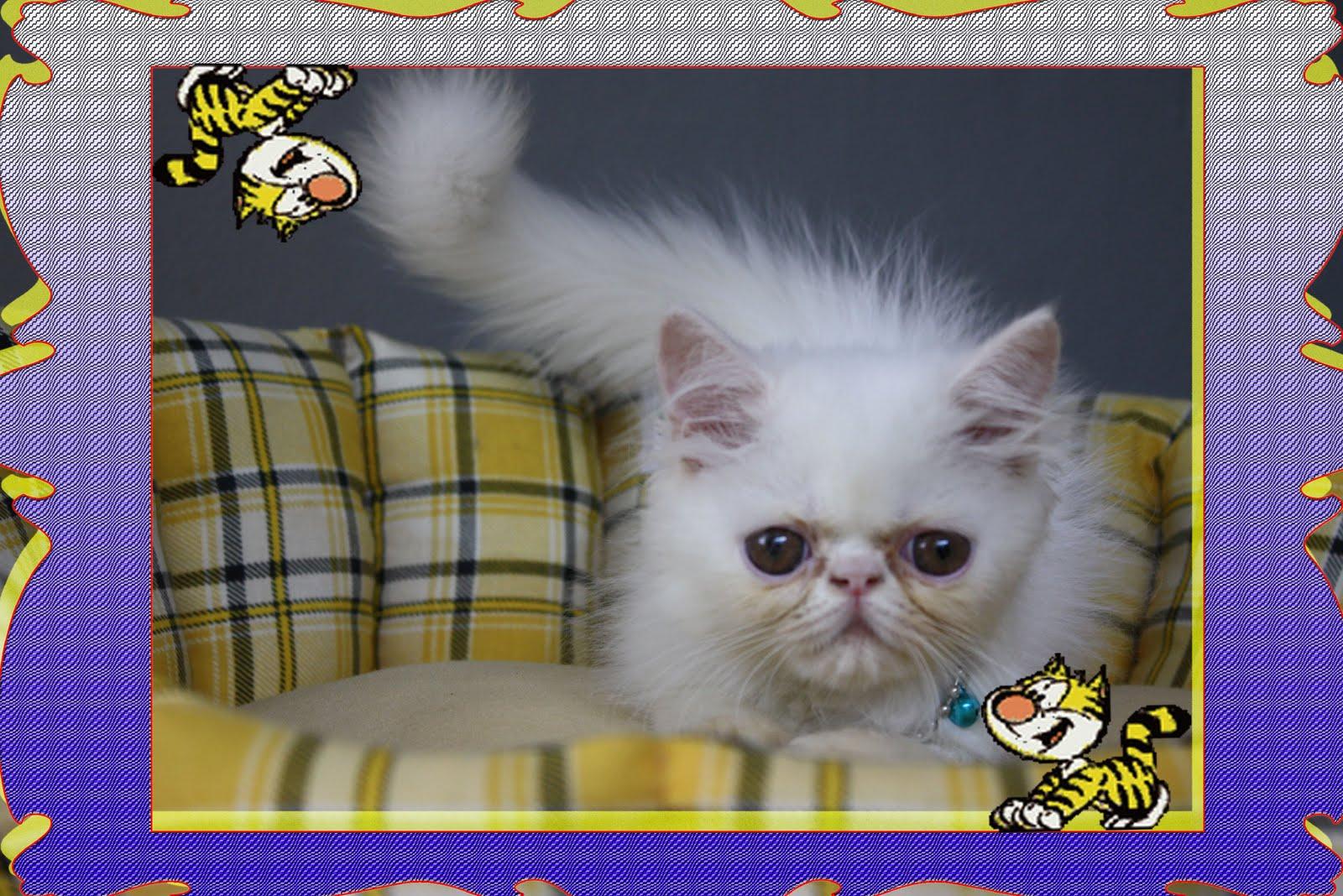 Pondokkan Kucing