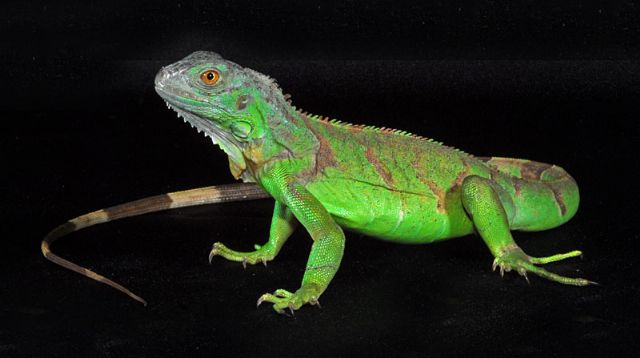 Green Iguana (Iguana iguana) ~ My Pet