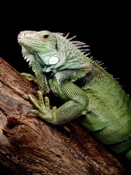 Pet Green Iguana