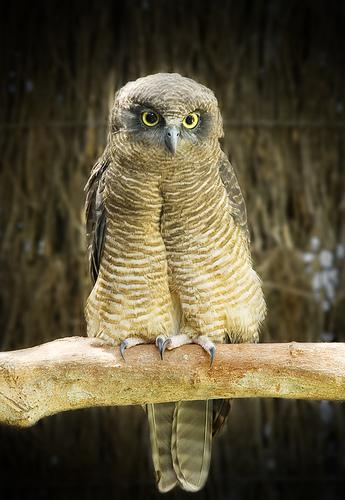 Rufous owl - photo#13