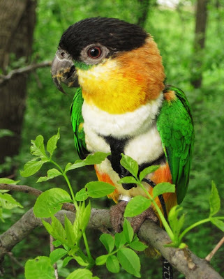 Caique bird outside in the trees
