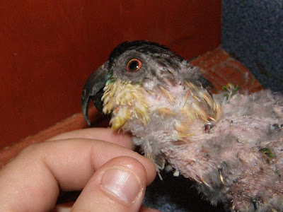 Caique with psittacine beak and feather disease