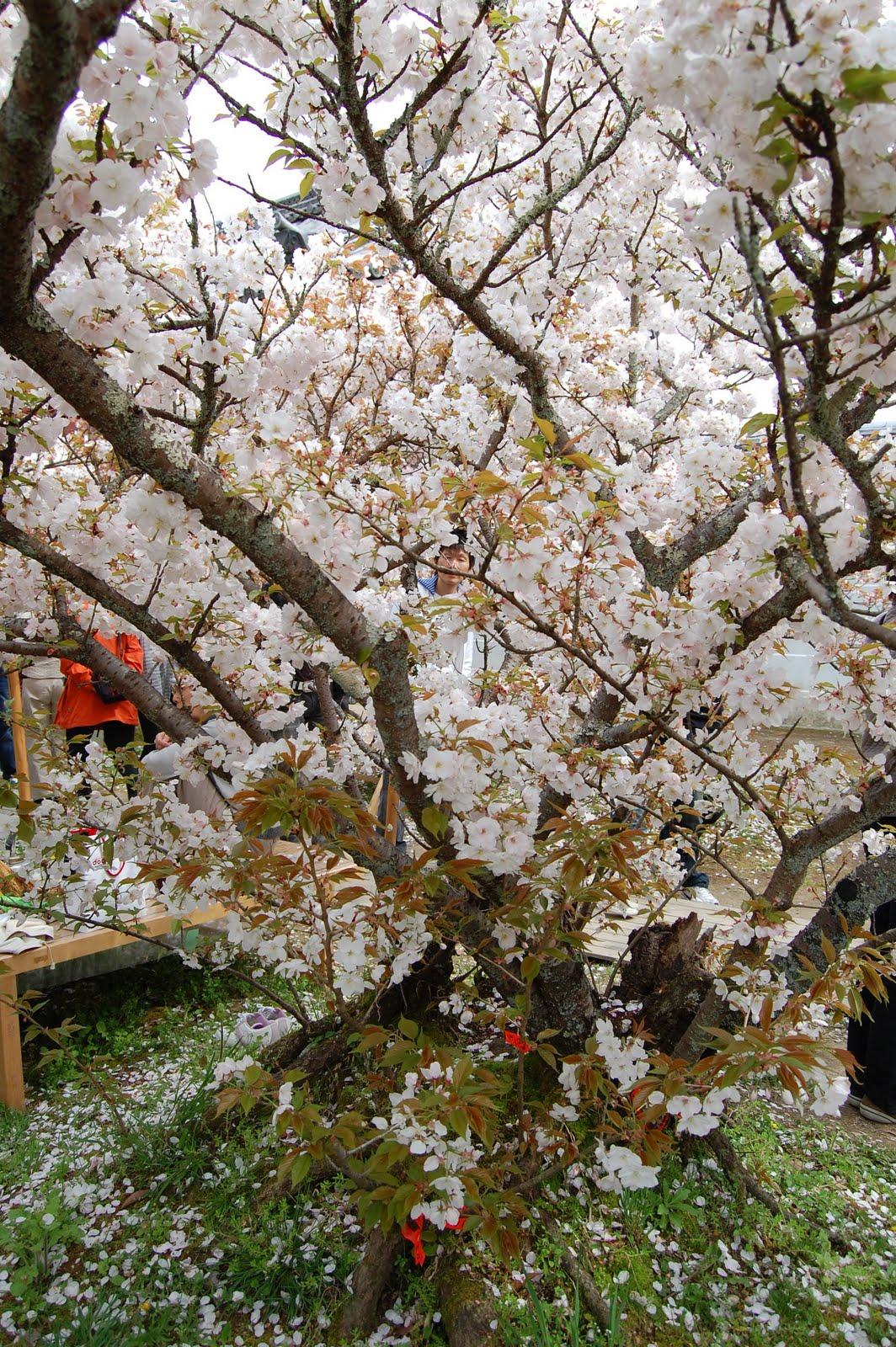 Sakura in Ninna-ji Temple