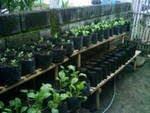 Percobaan tanaman sawi organik