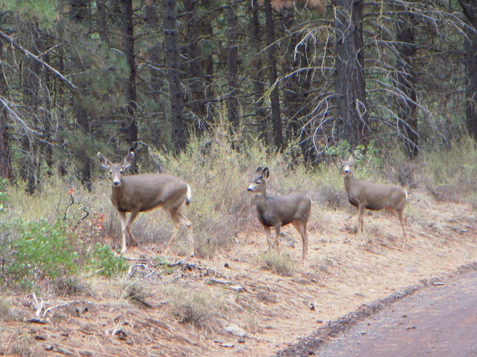 bend oregon daily photo 2009 yesterday i spied three mule deer not far from my house in bend oregon this isn t unusual here the since urban growth boundary has been pushed