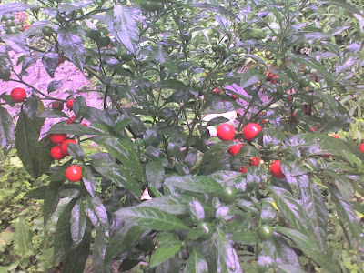 Cherry Plant Outside Cottage Window, Tirthan Valley