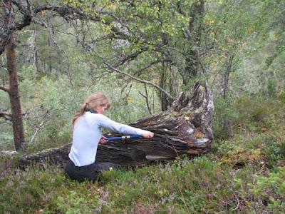Mumi pohon pinus berumur 500 tahun dari hutan sogndal norwegia