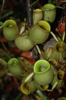 Kantong Semar (Nepenthes sp)