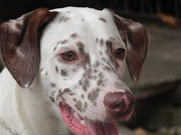My damn dog Lougee (she's a Dalmatian)