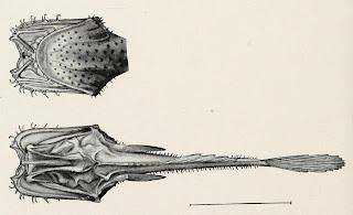 Wolf Trap Anglerfish Real Monstrosit...